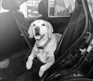 Picture of a Golden Retriever in a car